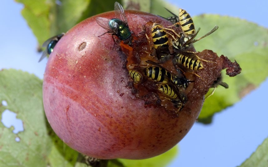 wasps on ripe fruit